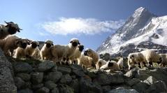 What's Up Doc? – Nuvit Grande Platinum (Sheep Placenta Complex)