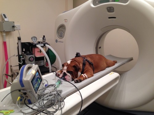 CT Scan for Bulldog